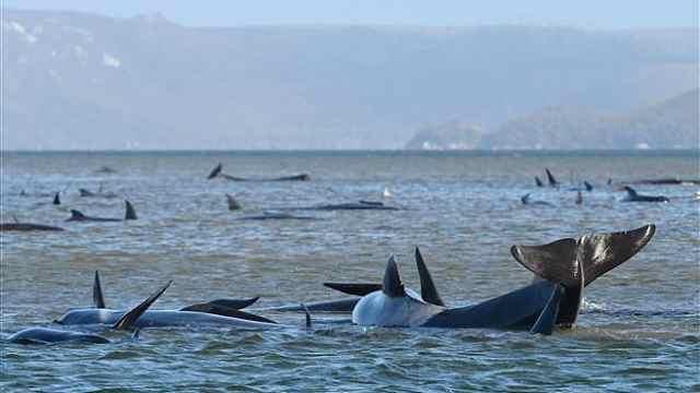 近500头领航鲸在澳大利亚海滩搁浅!创历史新纪录