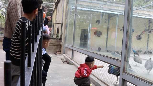"""小孩动物园翻越防护栏给孔雀喂食,不顾""""请勿投喂""""提示牌"""