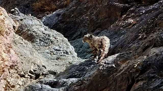 工人祁连山区一日两次偶遇雪豹,罕见拍到雪豹捕食画面