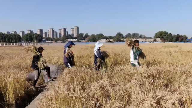 最辛苦专业?研究生开学先割200亩水稻:都是实验田