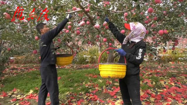 庆城县迎来苹果丰收季