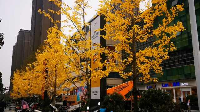 郑州一商场给银杏树绑假树叶,环卫工:真树叶被他们撸掉