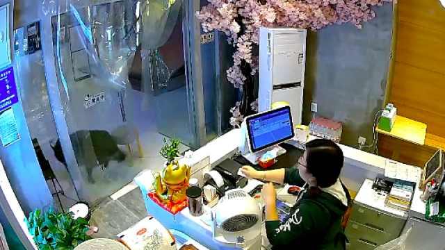 女店员讲述野猪窜进奶茶店:以为是哈士奇,看到獠牙赶紧让路