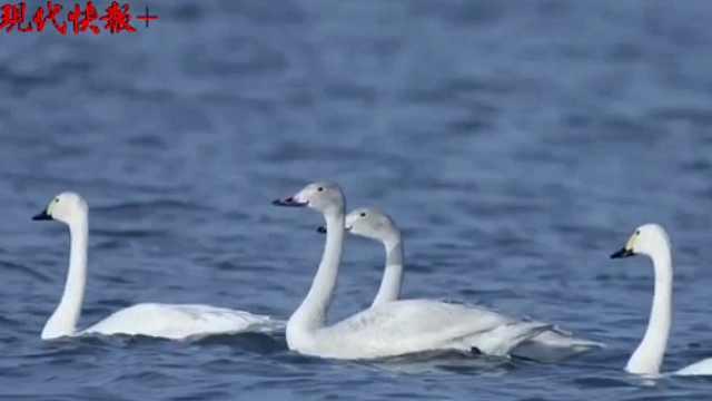 60多只小天鹅过境句容赤山湖
