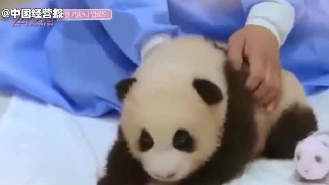 因为一个动作,韩国女团被骂上热搜!国宝熊猫为啥不能抱?
