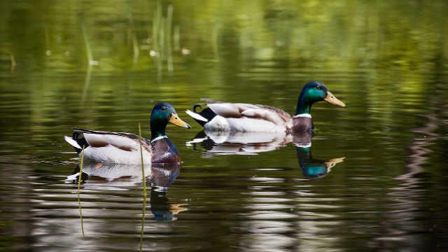 为何鸭子游完泳羽毛却不会湿?