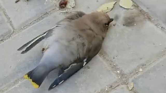 包头一小区上百只太平鸟撞墙死亡:胆小易受惊吓,已排除疫病