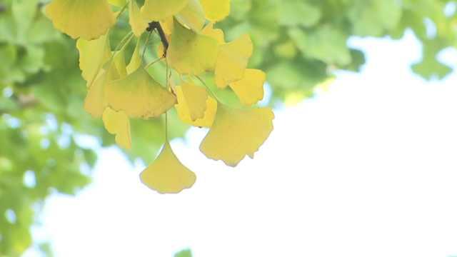 湖北荆州的银杏,没有金色也美霸屏