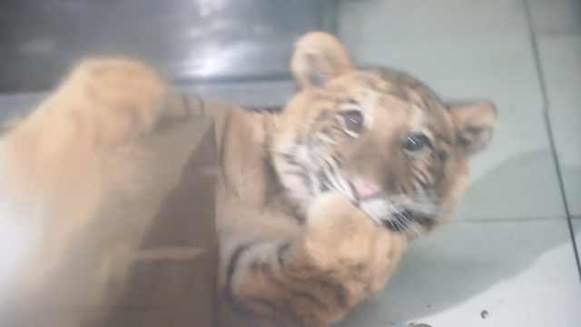 全球唯一虎狮虎兽荆荆为雌性,习性更偏向老虎