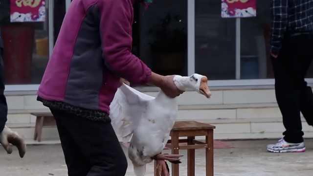 江苏乡村农家开始备年货了!杀肥鹅腌咸货,乡里乡亲都来帮忙