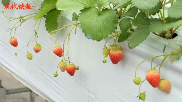"""大棚用上智慧农业物联网,""""盐都草莓""""带动村民致富增收"""