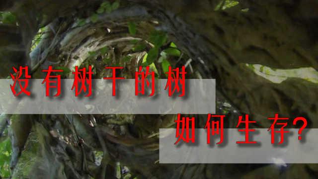 """一棵绞杀宿主的""""寄生树"""",为何能够成为热带雨林的大功臣?"""
