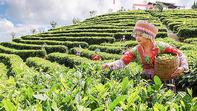 继承父业做好茶,她带领全村人脱贫致富