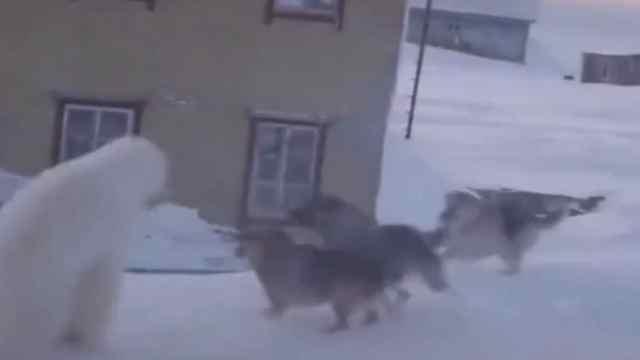 北极熊外出觅食被狗围攻,幼崽害怕地紧紧抱住大熊