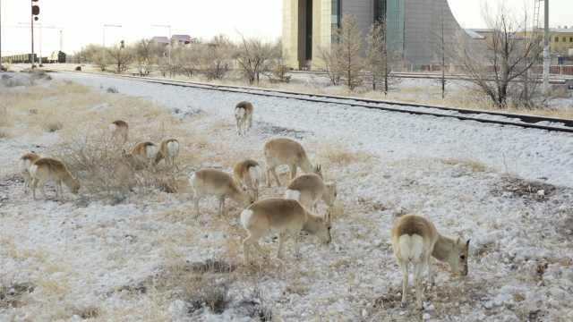 萌翻了!数百只蒙古国野生黄羊入境觅食,在国门前来回蹦哒