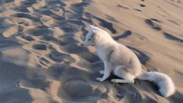 浅浅是你吗?月牙泉来了只小白狐,性格温顺游客争相投食