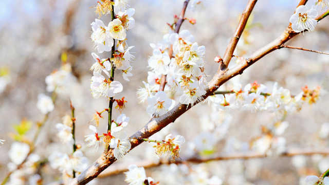 广州从化赏梅花攻略,3000亩梅花等你来打卡