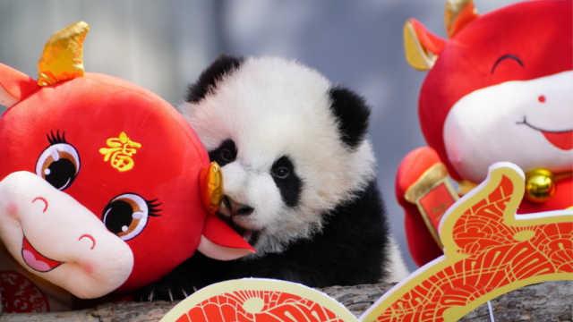 可爱到犯规!2020级熊猫宝宝集体亮相,给大家拜年啦!