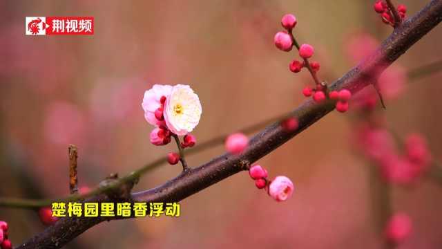 新春到,楚梅园里暗香浮动