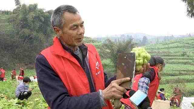 世界榨菜之乡重庆涪陵72万亩青菜头开割,收购价涨约1/3