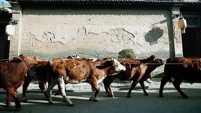 牛年摸牛有好运?景区牵五头耕牛让游客摸,还对牛弹琴