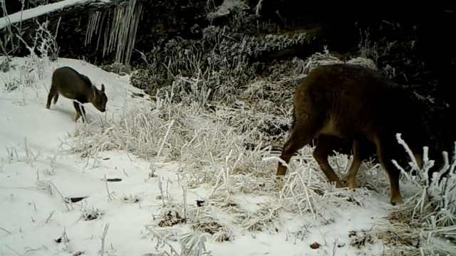 """自然保护区野生动物""""线上拜年"""",多种国家级保护动物现身"""