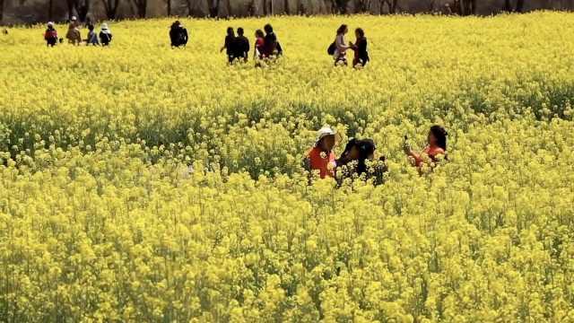 昆明万亩油菜花绽放,市民赏花食花:吃下春的味道