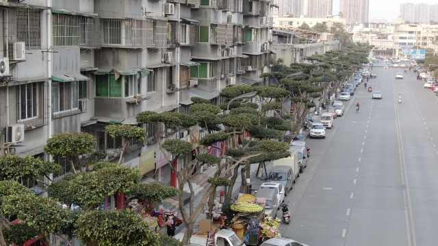 最有排面的行道树!成都温江人行道小叶榕,修剪成川派盆景