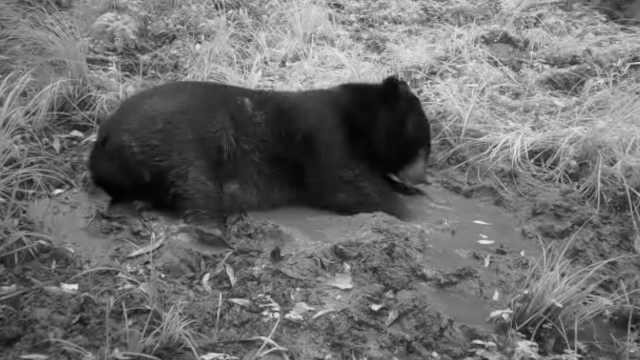 """熊出没!云南哀牢山监控""""收割""""珍贵画面:黑熊喝水滚泥潭"""