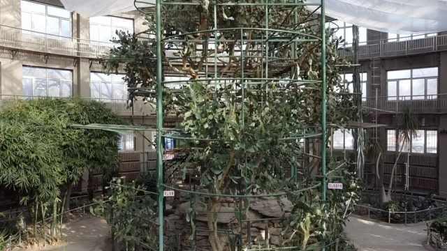 世界最大人工栽培仙人掌已125岁,高达10米一年开数千朵花