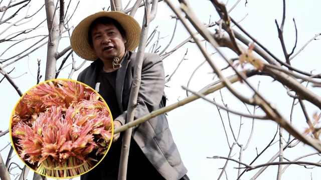 云南村民早春爬高剪椿芽,最高200一公斤,有人3个月挣十几万