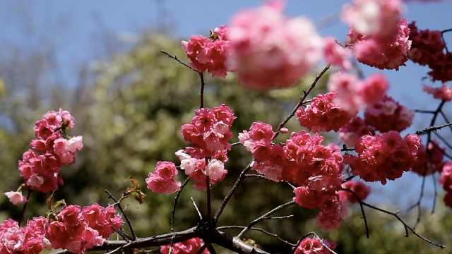 汪曾祺笔下的昆明景点:人与樱花融为一体,有点晕乎乎的