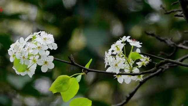 花开如雪!南京梅花山上这棵百年古梨树开花了