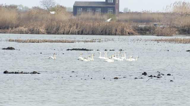 洪泽湖湿地迎来首批回迁候鸟,近百只小天鹅南归歇脚
