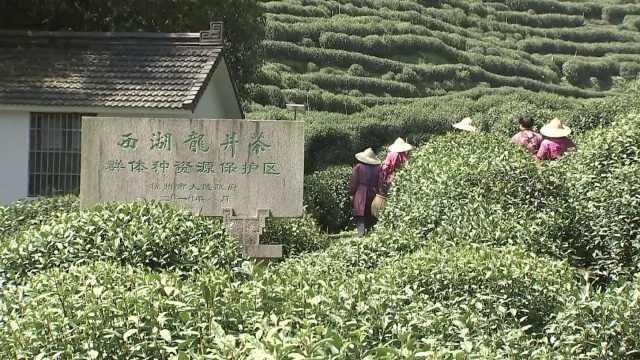 西湖龙井开采半个月了!今年产量或偏低,茶价几千上万不等