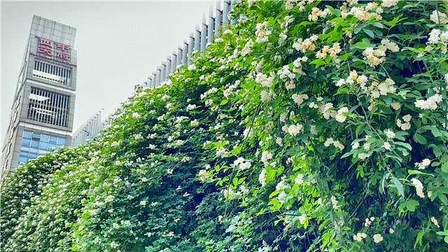 高新花事丨校园里的七里香,藏着最美好的青春