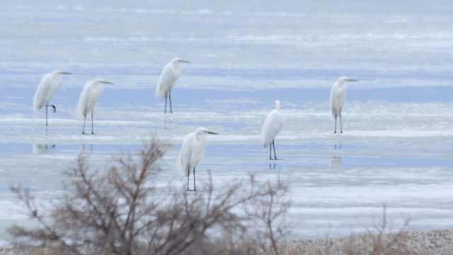 新疆冰雪消融,上万只珍稀候鸟栖息乌伦古湖