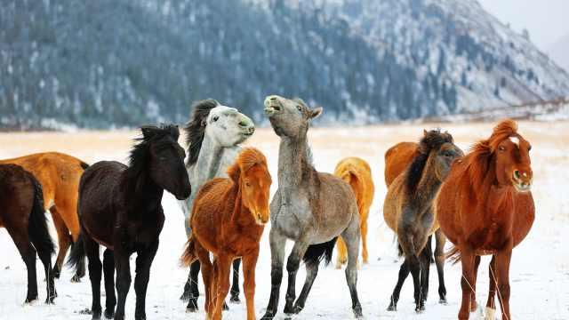 世界最大军马场迎春雪,百匹骏马踏雪饮水壮美如画