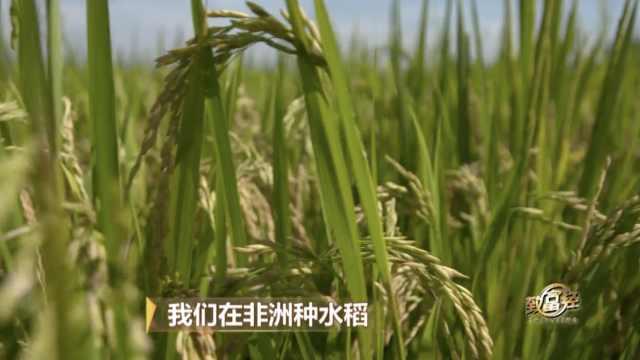 我们在非洲种大米