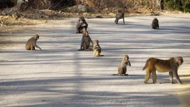 上百只云南野生猕猴组团下山拦路觅食 ,蹭吃蹭喝