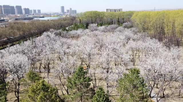 山西杏花村60亩杏花吐蕊绽放,游客:看到花就看到春天