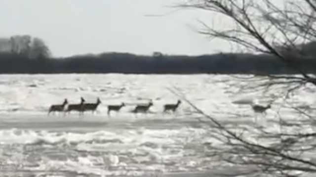 东北居民江边拍到稀奇一幕:7只狍子乘冰排过江