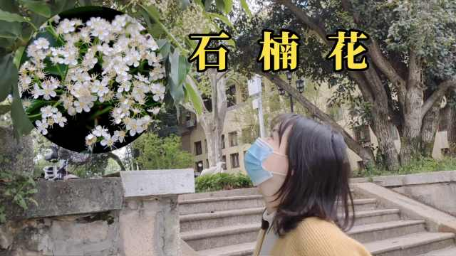 """气味""""不可描述""""的石楠花,凭什么能在中国遍地开?"""