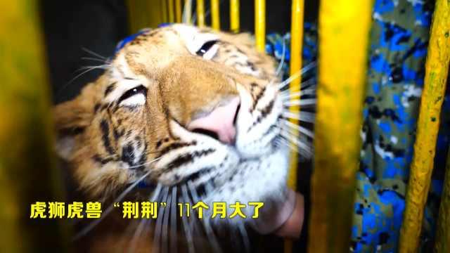 """虎狮虎兽""""荆荆""""11个月大了"""