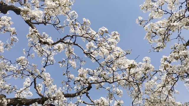 中国雪花梨之乡25万亩梨花绽放,养蜂人不远千里来采粉