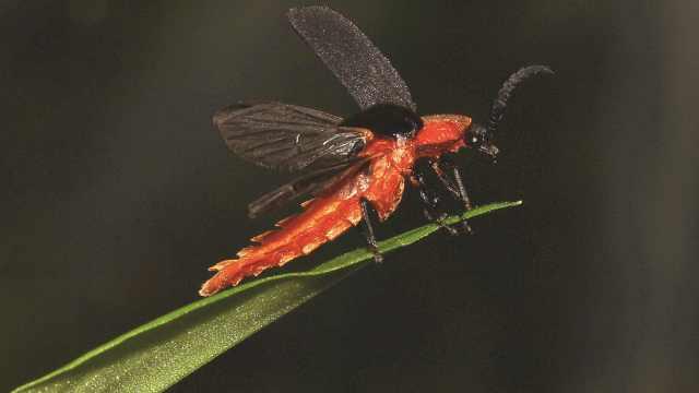 哪里生态好就在哪发光!3个萤火虫新品种现身云南