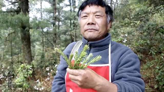 食物链顶端云南人春天有30种野花野菜可吃,沙松尖是最爱