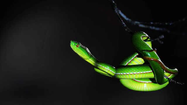 如果被蛇咬伤,专业人士教你辨别是否有毒?如何自救?