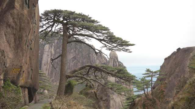 """树龄千年仍挺拔!黄山迎客松每年都在""""长高"""""""