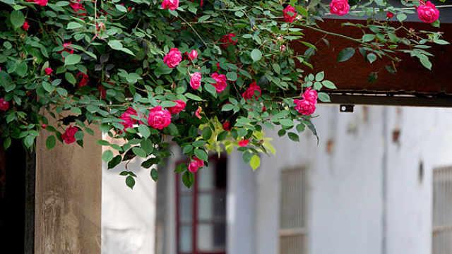 """又见蔷薇花开!南京颐和路""""蔷薇花墙""""上线"""